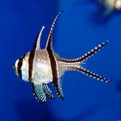 天の川のようなお魚・プテラポゴン・カウデルニー