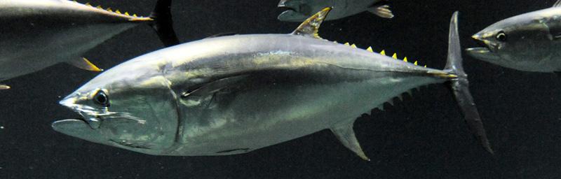 葛西臨海水族館のマグロの死亡と減少