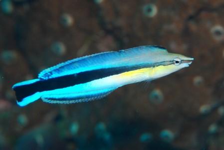 ホンソメワケベラと擬態するお魚