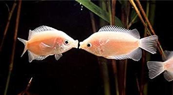 キスする魚!?