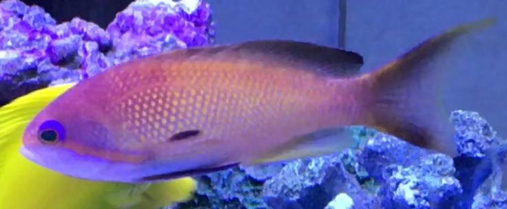 美しい海水魚、インドキンギョハナダイ
