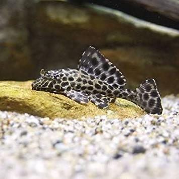 淡水魚水槽のコケ対策