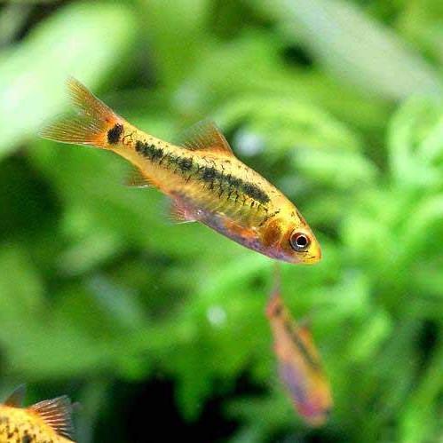 黄金の小魚・ゴールデンバルブ
