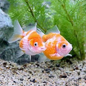 ピンポン玉のような金魚!