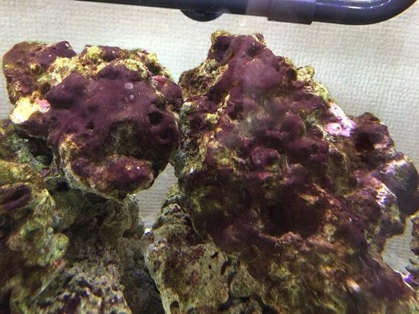 海水魚水槽の敵、シアノバクテリア