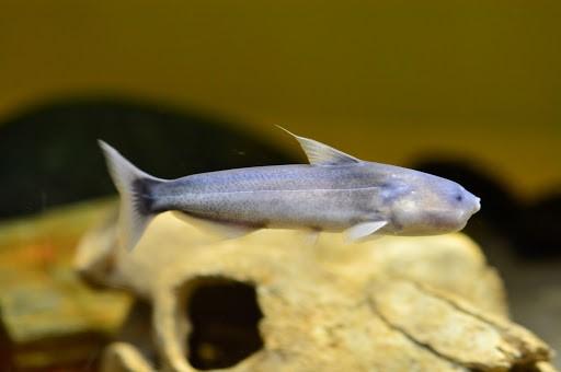アマゾン川に生息する恐ろしい怪魚!