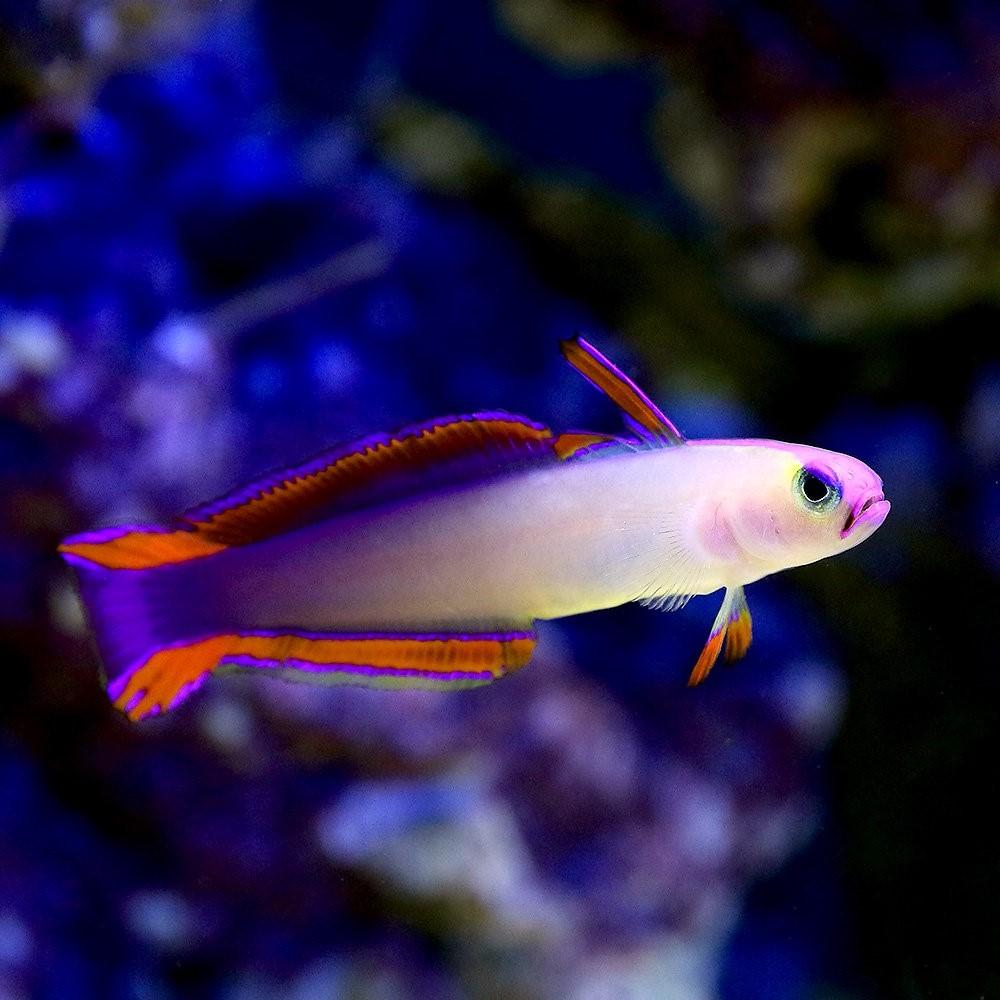 美しい海水魚、アケボノハゼ!