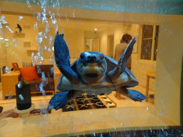 ウミガメのようなカメ、スッポンモドキ