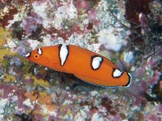幼魚と成魚で体色が変わるお魚・ツユベラ!