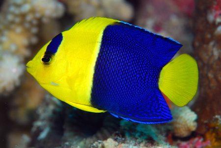 黄色と青のツートンカラー!ソメワケヤッコ!