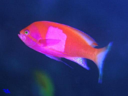黄色からピンク色に変わるスミレナガハナダイ