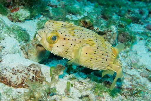 トゲトゲのお魚、ハリセンボンは実は飼育できる!
