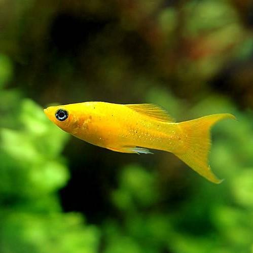 淡水魚の定番種、モーリー!